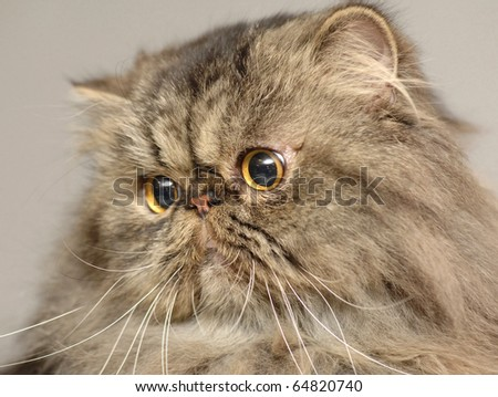 Cat portrait of a Persian - stock photo