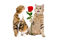 Cat presents a rose to a cat sitting isolated on white background