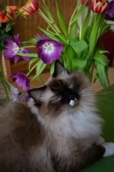 Cat Ragdoll adorable