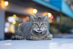 cat relaxing outdoor on the roof of a car with blur bokeh background