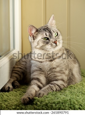 Cat, resting cat in natural warm blur background, young playful cat, domestic cat, relaxing cat, cat resting, elegant cat in low iso photo, noise