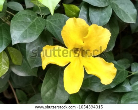 Cat's claw vine, yellow flower