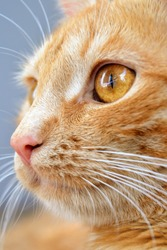 Cat's face close up. Close-up portrait of redhead cat. Eye, nose and mouth of a cat, close-up. A beautiful cat close up, profile portrait of cute ginger cat. Selective focus