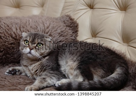 Cat.Scottish Fold cat gray with black spots color, lying on the fur litter on the couch.