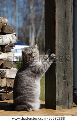 Cat (Scottish-fold) scratching the column
