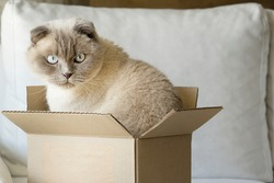 Cat  scottish fold  sitting  in a cardboard box . Cats home life and habits concept. concept of allergy to cat fur and aggression of pets