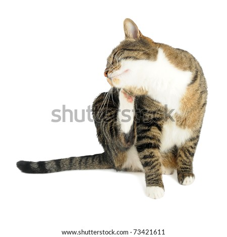 Cat scratching on white background