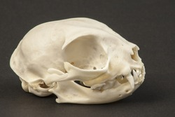 Cat Scull Lateral View