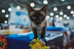 Cat show. Kitten looks into the camera.