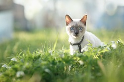 Cat sitting in grass. Spring. Thai cat