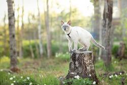 Cat sitting on a tree. Spring. Thai cat