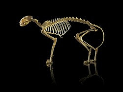 Cat Skeleton isolated on black background