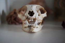 Cat skull. Dead cat's teeth close-up. Home collection of skulls. Taxidermia. Zoology.