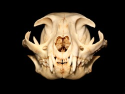 Cat skull (Felis silvestris catus).
