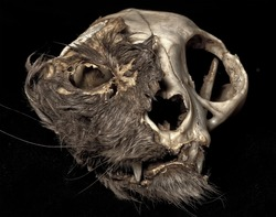 Cat skull in extreme decomposition.