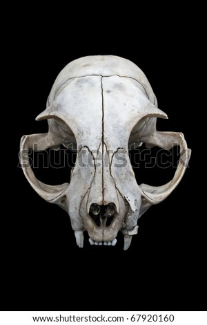 Cat skull isolated on a black background