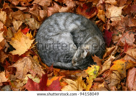 cat sleeping in bright autumn leaves in Druskininkai, resort in Lithuania