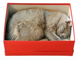 Cat sleeping in red shoes box isolated on white background