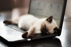 Cat sleeps on keyboard pc computer. Shallow DOF