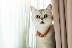 Cat surprised face open eyes wide indoor while hiding with white and beige curtain with copy space. Amazing shock face white and gray bicolor cat while meet unusual stranger.