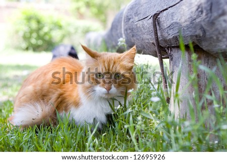 Cat take a walk on the grass close up (series Animal)