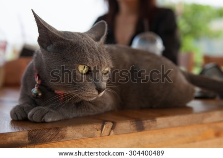 Cat thailand / Korat cat, Beauty cat, grey wool.