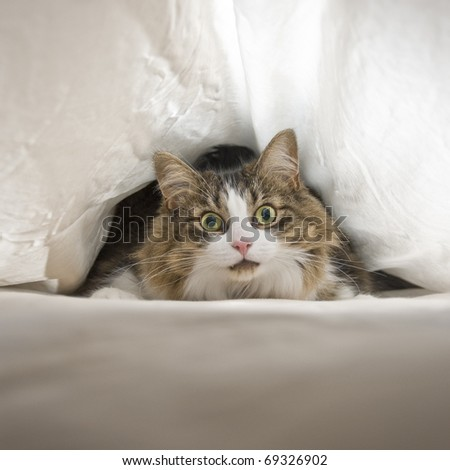 Cat Under Sheets