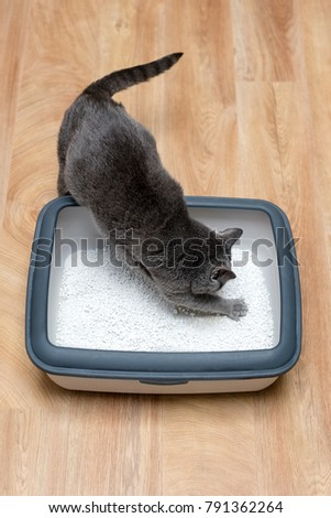 Cat using toilet, cat in litter box, for pooping or urinate, pooping in clean sand toilet. Grey cat breed Russian Blue.