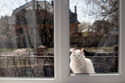 Cat waits to enter the house through the window. white fluffy cat sits on window sill and wants to enter room.