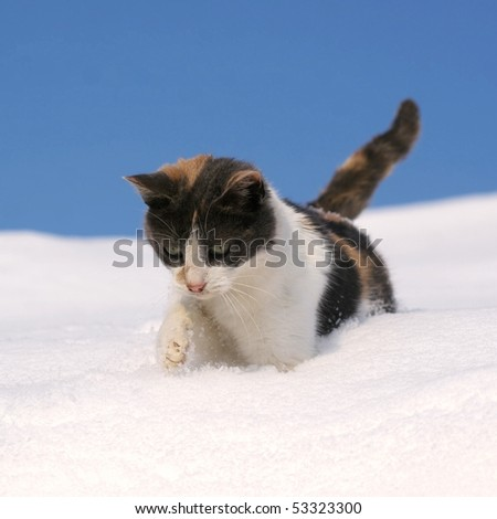 Cat, walking in snow, against blue sky
