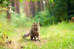 Cat walking in the forest in summer