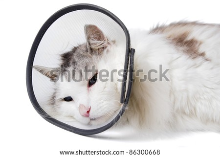Cat wearing a protective elizabethan collar (also known as a buster collar) after a surgical operation