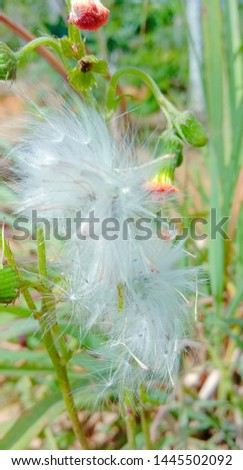 cat whiskers/cat whiskers flower white and green   #1445502092