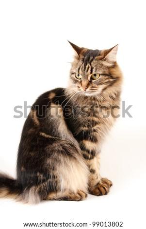 cat white background