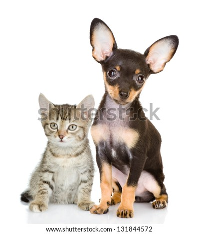 cat with a dog attentively look in the camera. isolated on white background