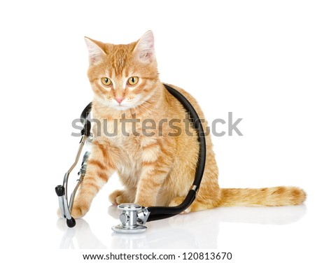 cat with a stethoscope on his neck.looking at camera isolated on white background