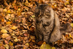 cat with an angry, sad face sits on the background of autumn leaves. Copy space