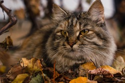 Cat with angry look lying in colorful autumn leaves at golden hour against blurry background of grape vines with orange leaves. Low angle with blurred leaves in the foreground