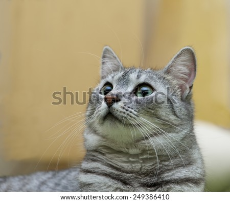Cat with big eyes portrait, cat face close up, cat head, cat in romantic mood, curious cat, domestic animal, domestic cat, grey cat