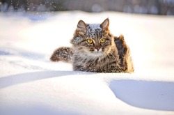 cat with big yellow eyes in winter