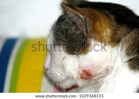 A View Of Penis Of Male Feline Cat With Stock Photo