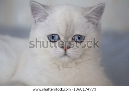 Cat with blue eyes.