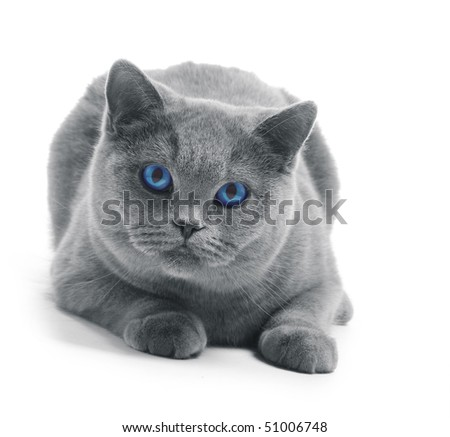 Cat with blue eyes isolated on white