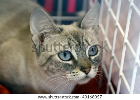 Cat with blue eyes kept in cage