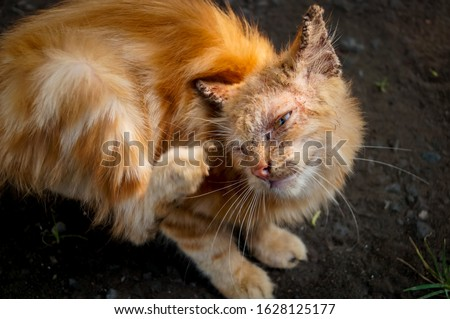 Cat with clinical sign of sarcoptic mange infection.Sarcoptic mange or scabies is a contagious parasitic disease caused by mite called Sarcoptes scabiei that affects animals and people Stock photo ©