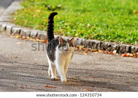 cat with extended tail walking on the street - stock photo