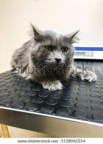 Cat with feline leukemia at the vet office.