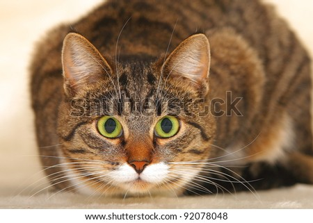 cat with green eyes and a bewitching glance