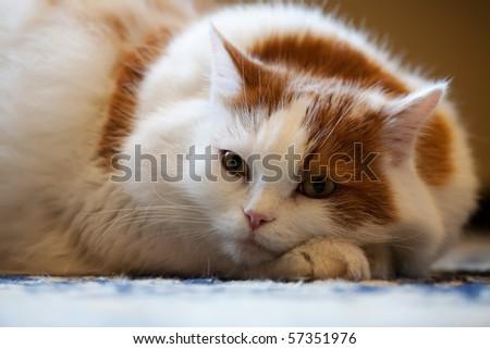 Cat Pedigree