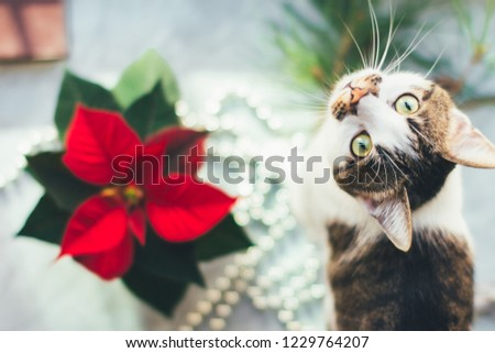 Cat with poinsettia. Cozy Christmas background. Funny pet picture